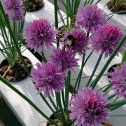 Fleurs de ciboulette et abeille
