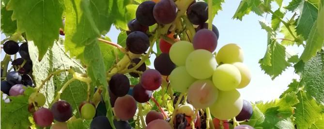 Raisins jardin bandeau 09 2021