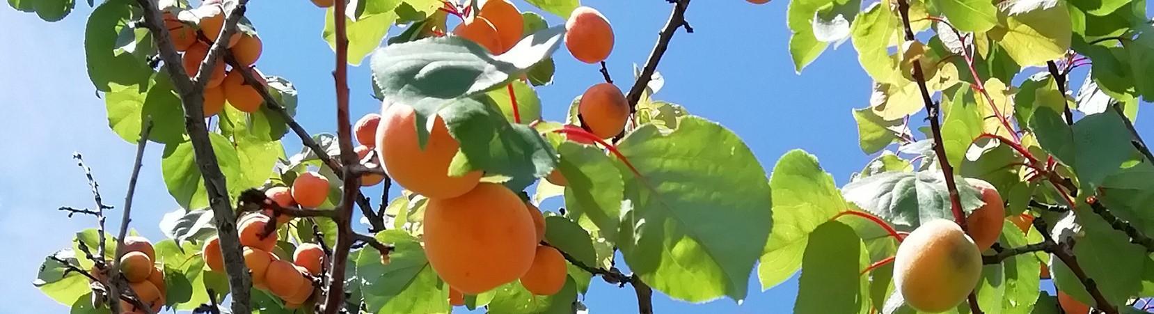 Bandeau abricot uz