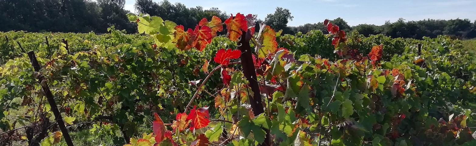 Les vignes de Blauzac, près de la colline de la Librotte